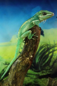 Cuban Knight Anole - Native to Cuba