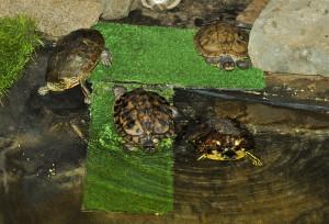Fish & Wildlife turtles