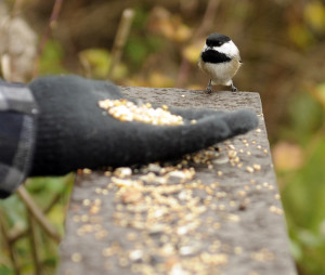 Feeding Chickadee on a field trip to Reifel Bird Sanctuary