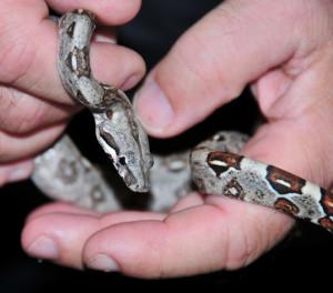 Baby boa constrictor